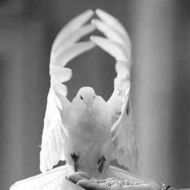 Белые голуби на свадьбу: популярная традиция, приметы, запуск птиц